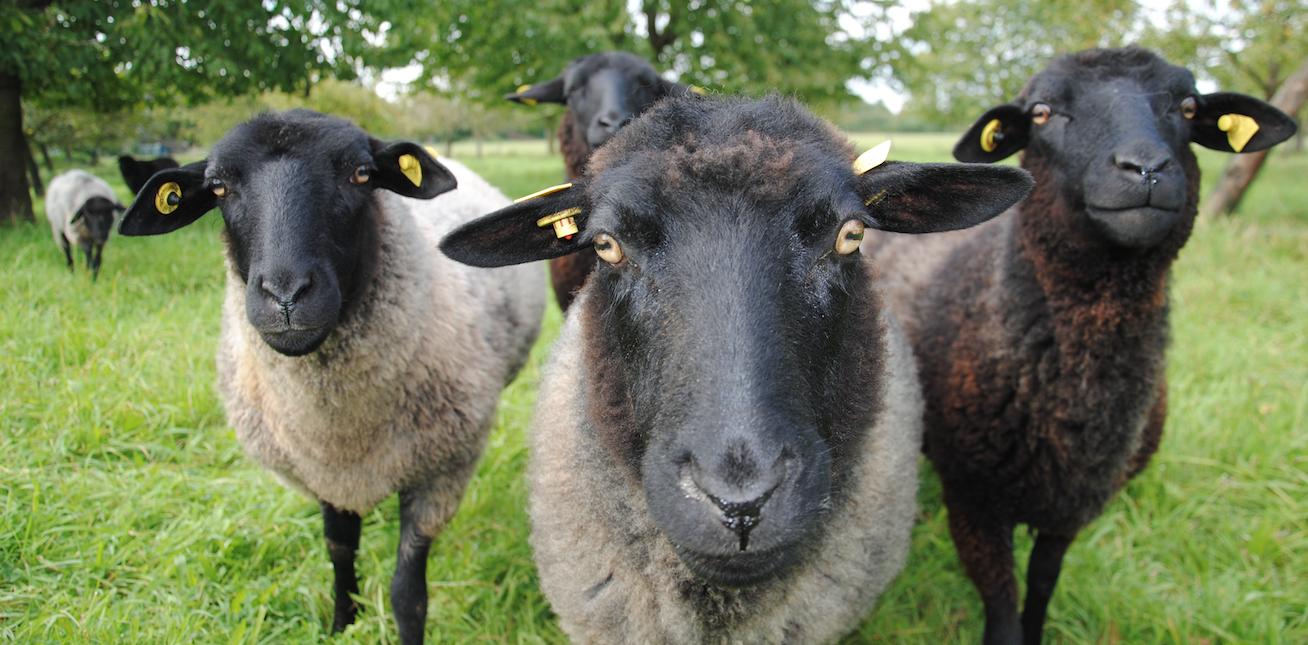 Bio-Schafe | Alstedder-Bio